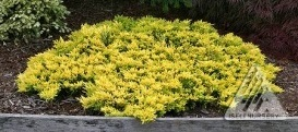 Horizontalusis kadagys 'Golden carpet'