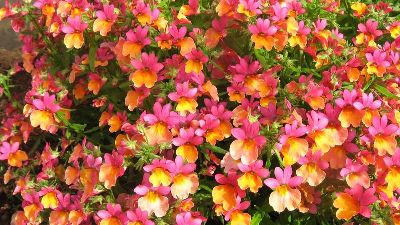 Nemesia_Spicy_Bicolor_Orange_Rose