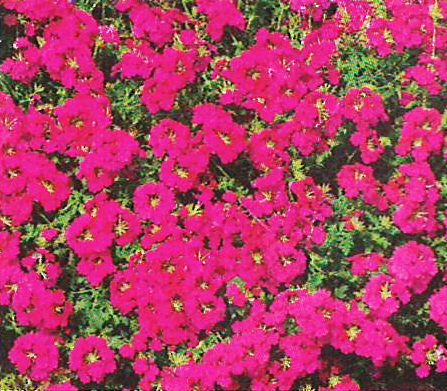 Verbena Magdalena Hot Rose