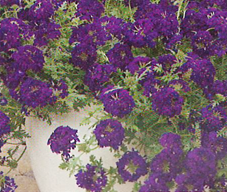 Verbena Magdalena Midnight Purple