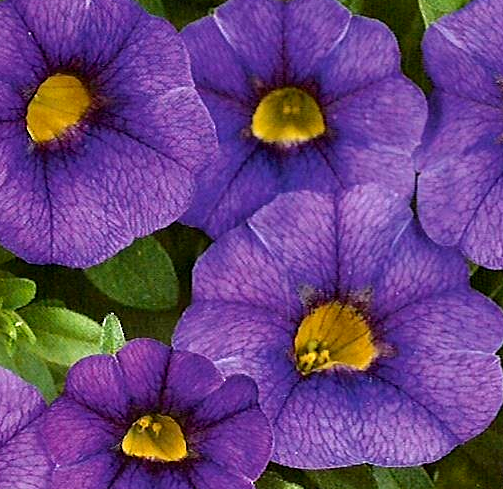 Calibrachoa Noa 'Blue Legend'