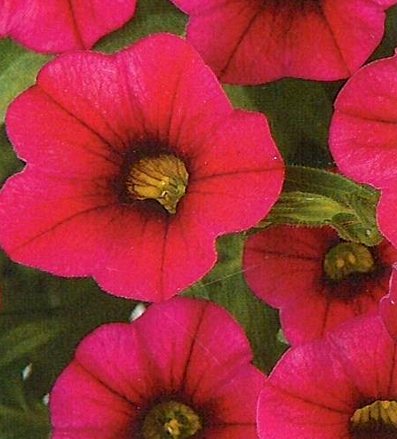 Calibrachoa Noa 'Dark Red'
