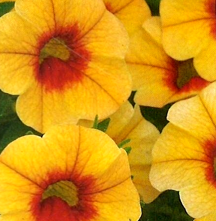 Calibrachoa Noa 'Mango Eye'