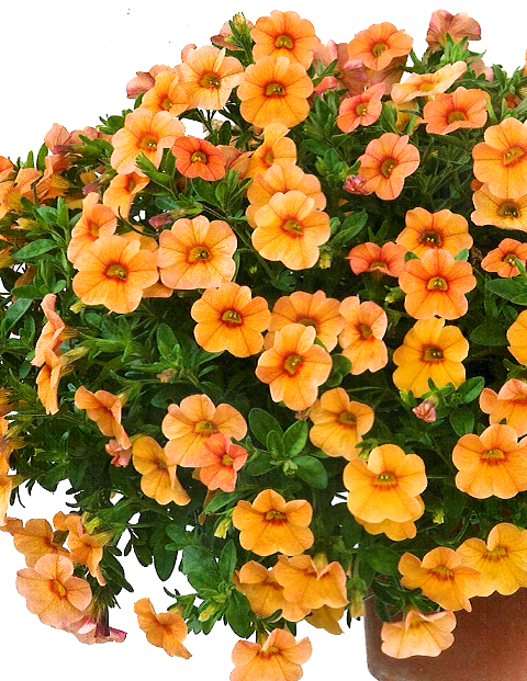 Calibrachoa Noa 'Peach'