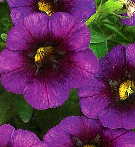 Calibrachoa Noa 'Ultra Purple'