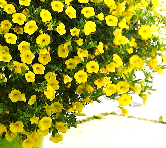 Calibrachoa Noa 'Yellow'