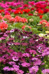 Sodo gėlės