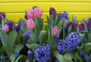 Sodo gėlės. Tulpės