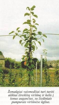 žemaūgiai vaismedžiai turi turėti aiškiai išreikštą viršūnę ir kelis į šonus augančius, su žiediniais pumpurais viršūnėse ūglius
