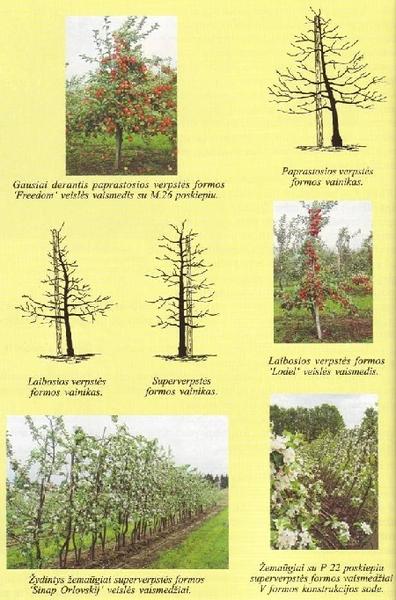 Obelų vainikų formos