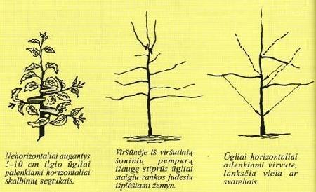 Obelų formavimas paprastųjų verpsčių vainikais. Tretieji metai