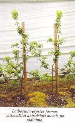 Laibosios verpstės formos vaismedžiai antraisiais metais po sodinimo