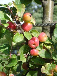 Kaip išsirinkti tinkamą obelų veislę ir poskiepį?