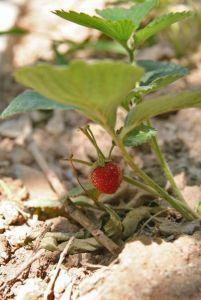 Braškyno priežiūra nuėmus derlių