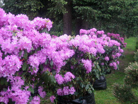 "Rododendras ""Catawbience Grandiflorum"""